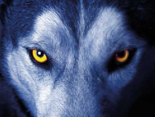 Wolf with yellow eyes looking at you